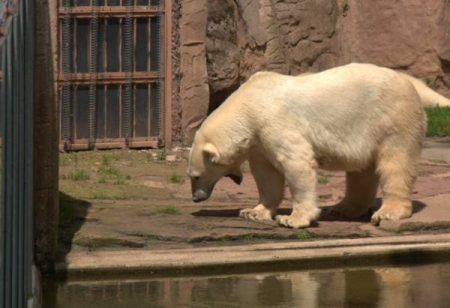 Imposanter Kraftprotz und ganz sicher kein Teddybär.